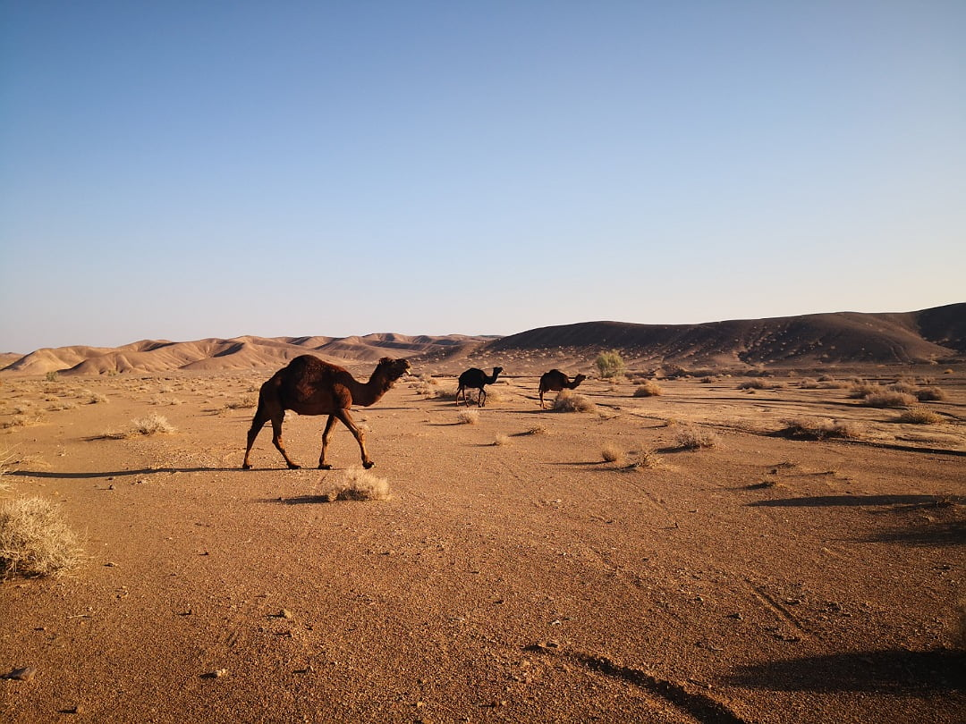 Watching wild camels in central desert on Iran vegan vegetarian tour