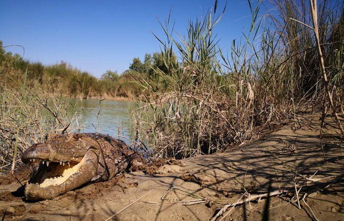 Mugger crocodile in Bahukalat river of Sistan Baluchestan, Iran known as gando. Iran Vegan Travel
